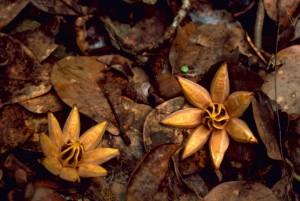 west, Indian, mahogany, plant, seedling, swietenia, mahagoni