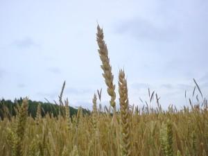 blé, plante