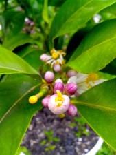 jeune, citron, pollinisées, fleur