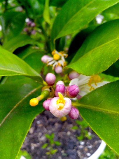 Mladi, limuna, cvijet oprašivanje,