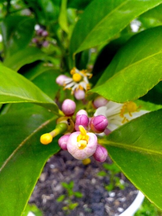 young, lemon, pollinated, flower