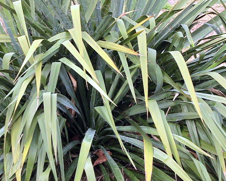 Yucca plant images 4