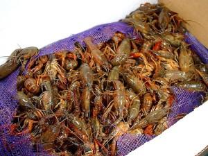 crawfish, crawdads