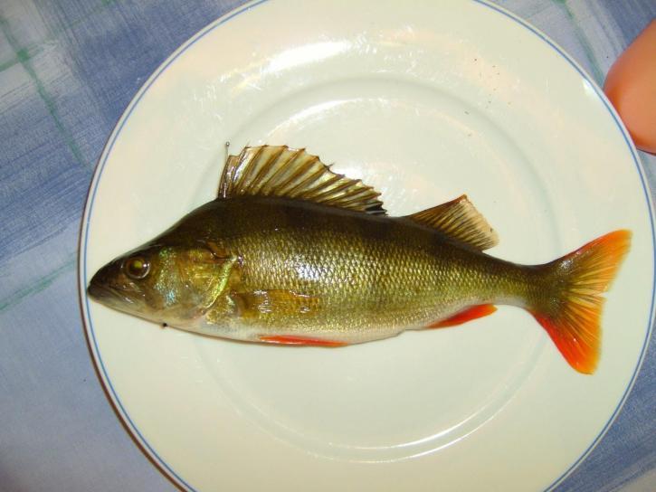 okoun, ryby, deska