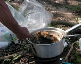 preparing, frying, American, shad, fish