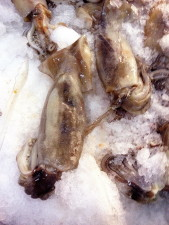 squid, loligo opalescens