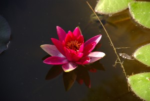 red, water, lily, flower