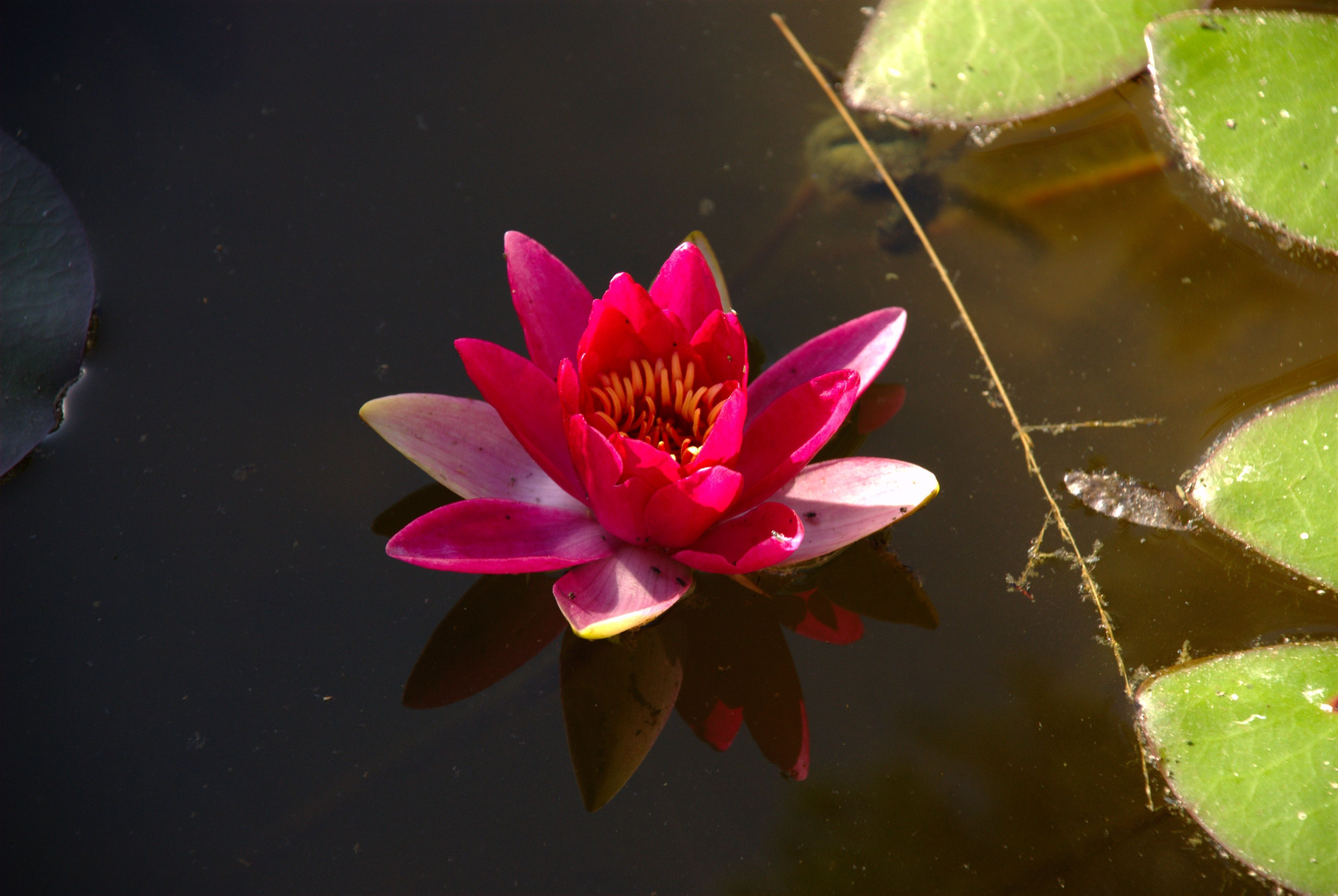 Free Picture Red Water Lily Flower