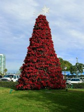 Christmas, poinsettia, tree, San Diego