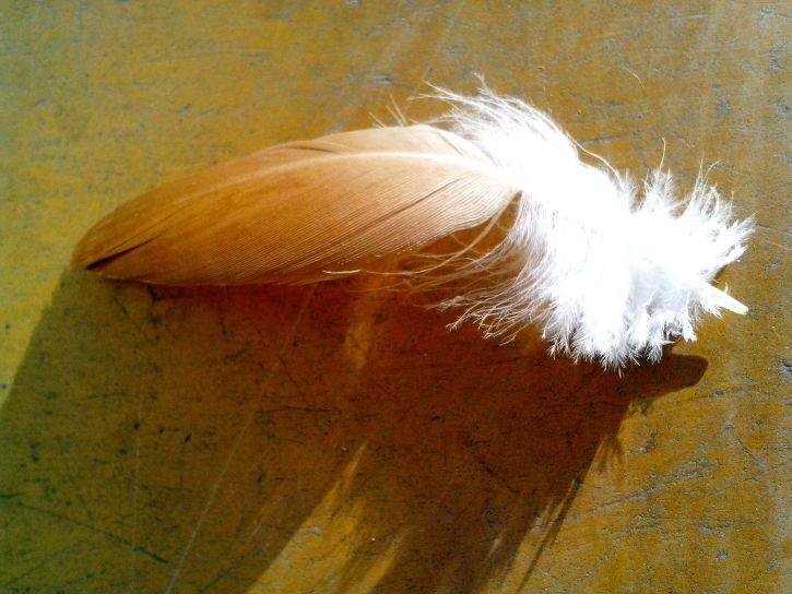 chicken, feather, close