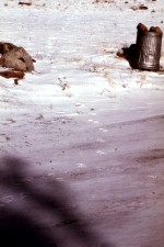 coyote, canis latrans, tracks