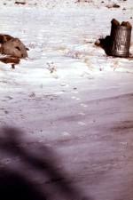 coyote, canis latrans, tracks