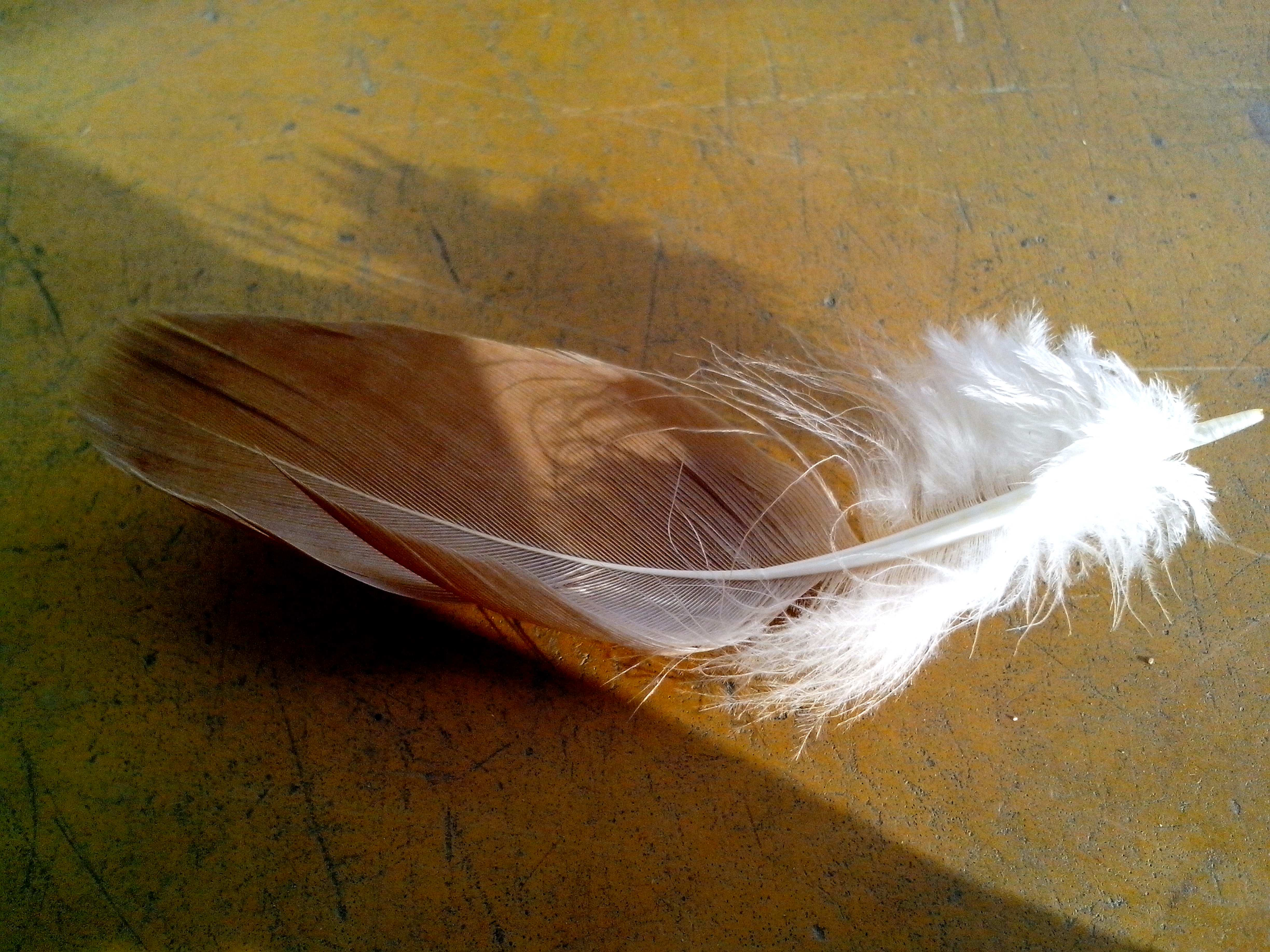 Free photograph; feather, bird