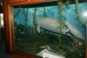 lamantino, Sirenia, animale, museo