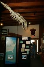 manatee, skeleton, display