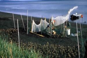 redes, captura, pájaros, estiramientos, orilla, laguna