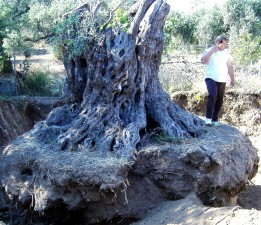 volunteers, Cyprus, encourage, residents, save, islands, olive, trees