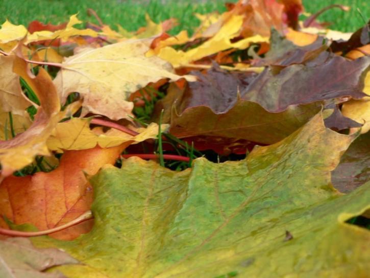 autumn, maple