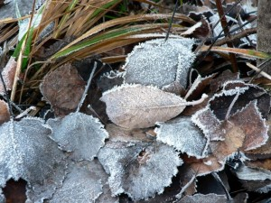 frosty, autumn, leaves, ground