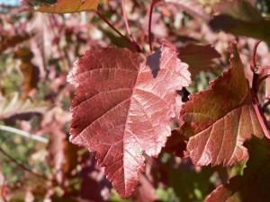 rouges, automne, feuilles