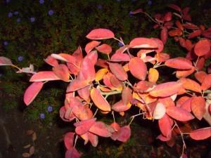 rouge, automne, feuilles, branche, sombre