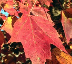 rouge, érable, feuille, automne