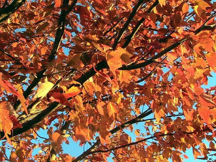 rouge, érable, arbre, automne, chute