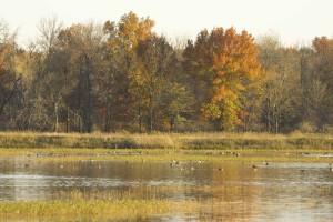 พื้นที่ชุ่มน้ำ ฤดูใบไม้ร่วง ต้นไม้ พื้นหลัง เป็ด ลอยน้ำ