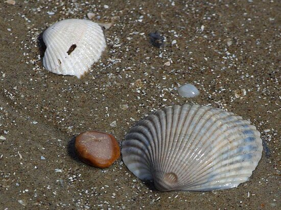shells, beaches, sand