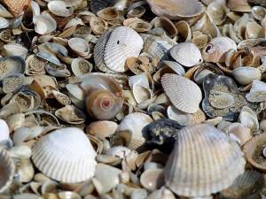 školjke, rakovi, plaže, pijesak