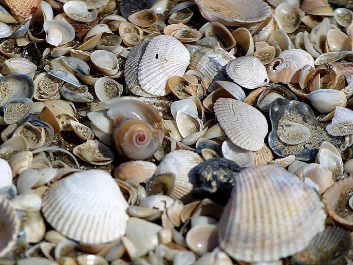 coquillages, palourdes, beachs, sable