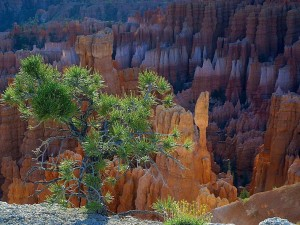 Bryce, pinetrees