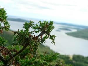 juniper, coastal, inlet, view