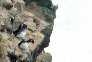 rocheux, littoral, les oiseaux