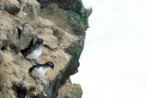 rocky, coastline, birds