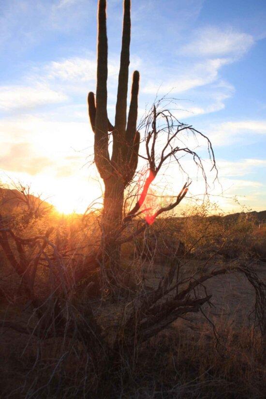 kaktus, siluety, ráno, slnko