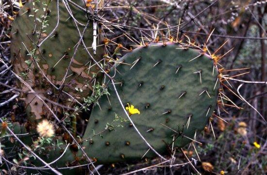 kaktus tŕne, púšť, závod