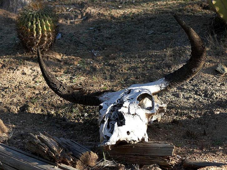 decomposing, cow, skull