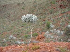 Baum, Wüste