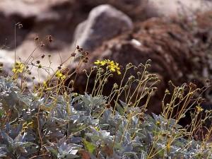 fleurs sauvages, Anza, Borrego, désert, état, parc