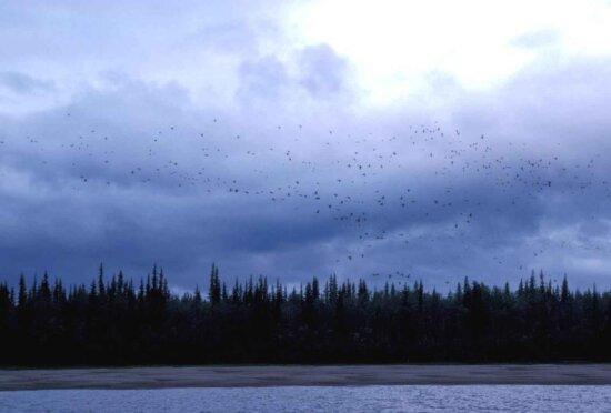 migrating, birds, flying, dusk