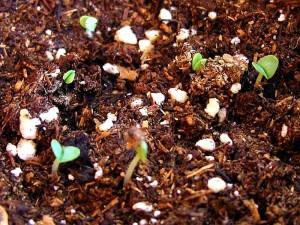 la saleté, les plantes, les choux, les semis