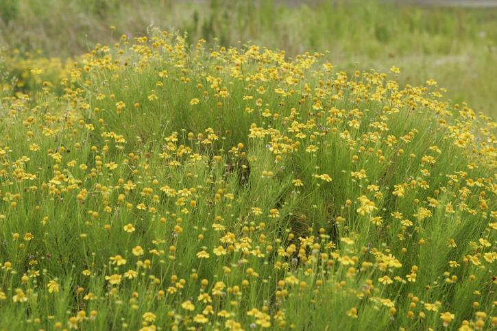 bitter, sneezeweed, flowering, plants, summer, field