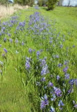 camas, flowers, field, camassia, leichtlinii