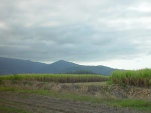cane, fields