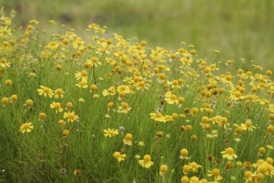 up-close, yellow flowers, field