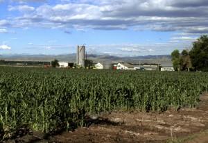 maïs, champ, Colorado