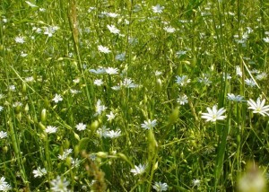field, white flowers
