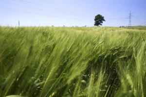 grain, agricultural, fields