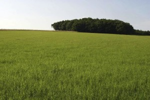 green, fields, grain